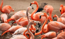 Flock of Beautiful Flamingos Stock Photos
