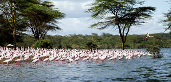Flock of beautiful Lesser Flamingos Stock Photo
