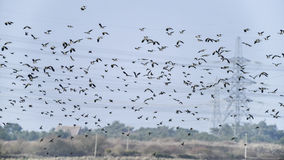Flock of beautiful migratory lapwing birds in clear Winter sky Stock Photography