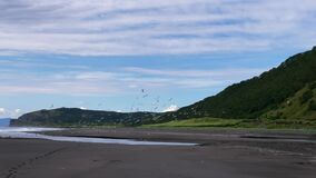 Flock of beautiful seagulls soar above the black volcanic sand beach.