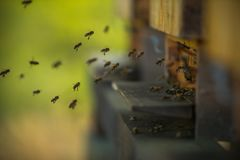A flock of bees flying into hive royalty free stock images