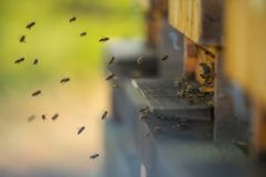 A flock of bees flying into hive stock photography