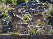 A flock of bighorn mountain sheep stock image
