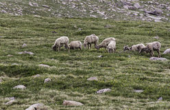 Flock of bighorn sheep Stock Photo