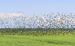 Flock of bird. Royalty Free Stock Photos