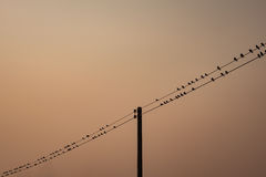 Flock of Bird over Electric Line Royalty Free Stock Images