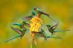 Flock of bird sucking nectar from yellow flower. Hummingbird Long-tailed Sylph eating nectar from beautiful yellow bloom in Ecuado Stock Photo