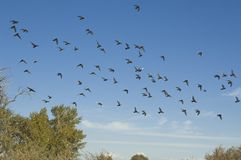 Flock of Birds. Flying south for the winter, Colorado Stock Photo