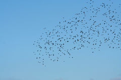 Flock of birds. Against a blue sky Stock Images