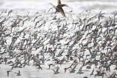 Flock of birds Stock Images