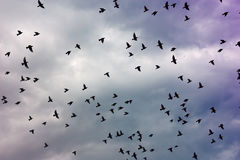 Flock of birds. Flying in the cloudy sky - fly, bird, texture Royalty Free Stock Photo