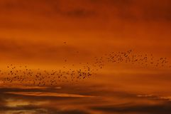 Flock of birds Royalty Free Stock Photo