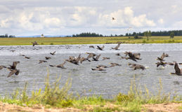 A flock of birds. Taking off from water Royalty Free Stock Images