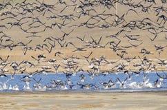 Flock of birds. Flock of Greylag Goose (anser anser Royalty Free Stock Image