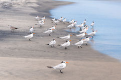 Flock of birds Royalty Free Stock Photos