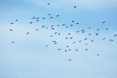 Flock of birds. On a blue sky Royalty Free Stock Images