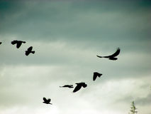 Flock of birds Royalty Free Stock Photography