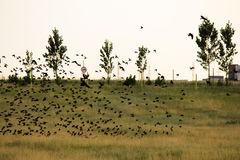 Flock of birds above the fields Royalty Free Stock Image