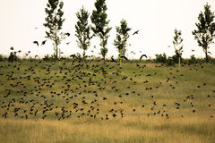 Flock of birds above the fields Stock Photography