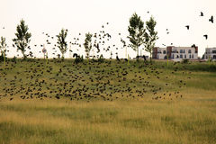 Flock of birds above the fields Royalty Free Stock Photography
