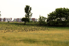 Flock of birds above the fields Royalty Free Stock Photo