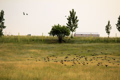 Flock of birds above the fields Stock Images