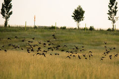 Flock of birds above the fields Royalty Free Stock Images
