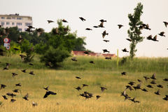 Flock of birds above the fields Royalty Free Stock Photos
