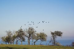 Flock of birds above the trees Stock Photography