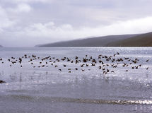 Flock of birds above water. A flock of sea birds flying low above the water. Calm sea and hills in the background. Sun and clouds make an interesting light Royalty Free Stock Photo