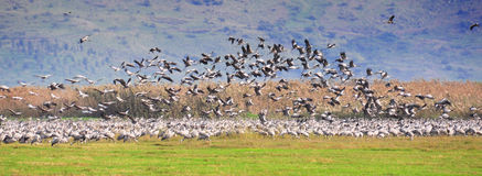Flock of birds, Ahula, Israel. A flock of Herons during migration season royalty free stock photography