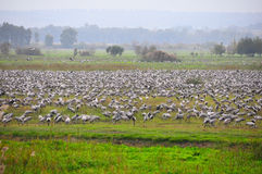 Flock of birds, Ahula, Israel. A flock of Herons during migration season royalty free stock photo
