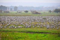 Flock of birds, Ahula, Israel Royalty Free Stock Photo