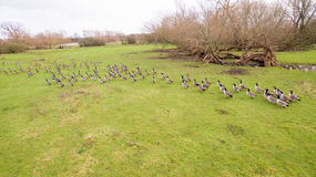 A flock of birds around a lake in Leicestershire Royalty Free Stock Image