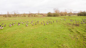A flock of birds around a lake in Leicestershire Royalty Free Stock Photos
