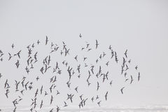 A Flock of Birds at the Beach in the Fog Royalty Free Stock Photography