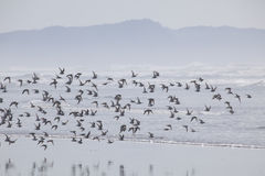 A Flock of Birds at the Beach in the Fog Royalty Free Stock Images