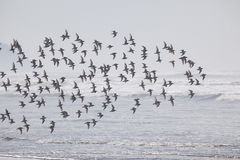 A Flock of Birds on the Beach in the Fog Royalty Free Stock Photo