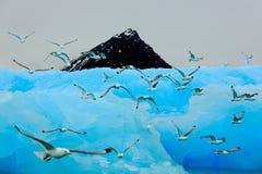 Flock of birds with beautiful blue ice. Black-legged Kittiwake, Rissa tridactyla, with ice glacier, iceberg, in background. Svalbard, Norway stock image