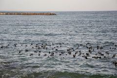Flock of birds, black ducks, seagulls swimming in the sea, blue water, seascape. Flock of birds in the water of Black sea. Seaguls and ducks, blue water royalty free stock photography