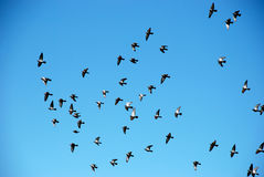 Flock of birds on a  blue sky. Flock of birds on a background of blue sky Stock Photo