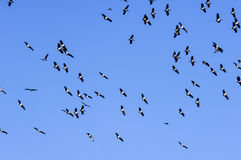 Flock of birds in the blue sky Royalty Free Stock Image