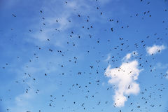 Flock of birds Royalty Free Stock Image