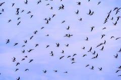 Flock of birds on blue sky Stock Photo