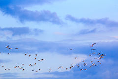 Flock of birds in the blue sky with clouds Royalty Free Stock Images