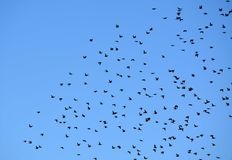 Flock of Birds in Blue Sky Royalty Free Stock Photo