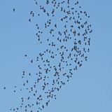 Flock of birds on blue sky Stock Photography