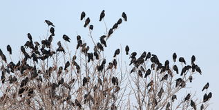 Flock of birds on branch Royalty Free Stock Photo