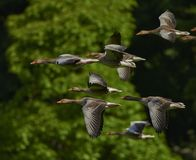 Flock Of Birds, Canada Geese, Geese Stock Photos