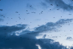 A flock of birds in the clear with clouds blue sky in the dusk. A flock of birds in the blue sky in the dusk Stock Image